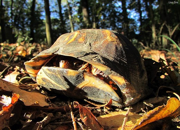 A turtle hiding in its shell on the ground surrounded by leaves